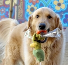 Pet of the Month: Golden boy is ready for love