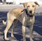 Pet of the Month: A golden opportunity with sweet Goldie