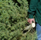 Recycle your live Christmas tree